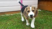 Stunning Beagle Puppies!!!