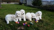 Adorable Samoyed Puppies!!