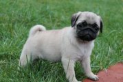 Beautiful Pug puppies for rehoming