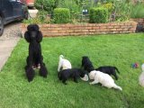 Standard Poodle Puppies Ready