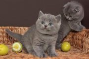 Sweet British short hair kittens for re-homing