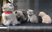 j ..Cute Male and female British Short Hair Kittens For Sale