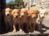 Beautiful AKc Reg Labrador Puppies