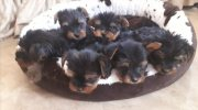 Mini Yorkshire Terriers