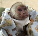 Beautiful Capuchin monkeys for sale