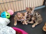 السافانا الذكور والإناث القطط للبيع