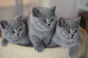 ثلاث قطط بريطانية قصيرة الشعر للبيع