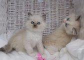 ragdoll الذكور والإناث القطط للبيع
