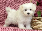 Adorable home raise Maltese puppies for sale