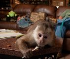 Gorgeous Capuchin monkeys for sale