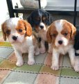 male and female king charles spaniel puppies for sale