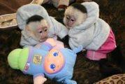 Gorgeous home raise Capuchin monkeys for sale