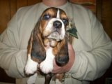 Basset Female