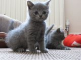 male and female british shorthair kittens for sale