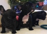 Healthy French Bulldog Puppies Available for sale