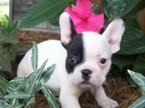 French bulldog Puppies for Re Homing