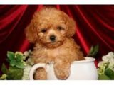 Poodle puppies available for sale