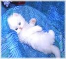Teacup Persian Kittens for sale