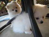 Pomeranian Pups Available ready to go now
