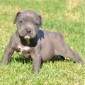 Pitbull Puppies for Sale