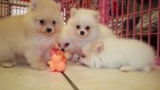Lovely Pomeranian Puppies