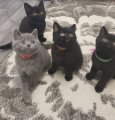 Blue British Shorthair Kittens for sale
