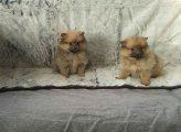 Beautiful Pomeranian For Sale