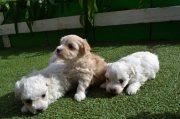 Beautiful Maltese Babies