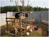 chimpazee حنون ومدروس منزليا للبيع إلى أي منزل جاهز