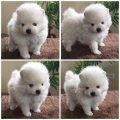 healthy white tea cup pomeranian puppies for sale