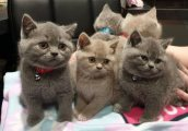 males and females british shorthaired kittens for sale