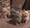 healthy and vaccinated males and females british shorthaired kittens for sale